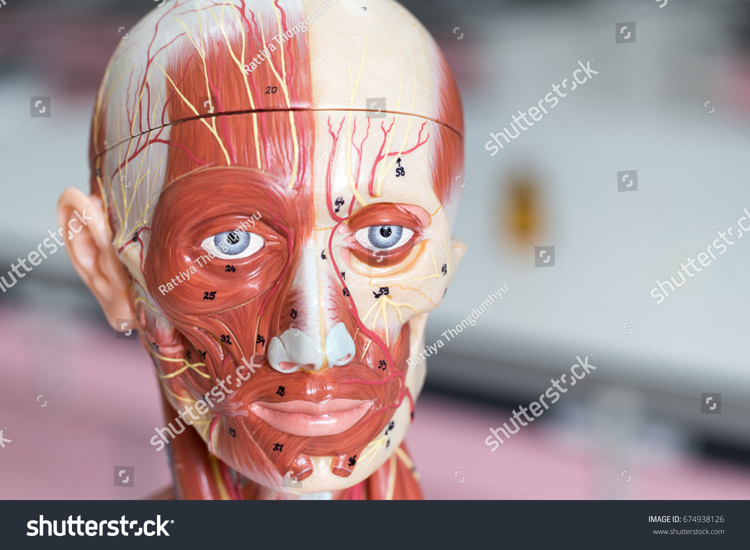 Face Human Anatomy Model Muscle Classroom Stock Photo Edit Now