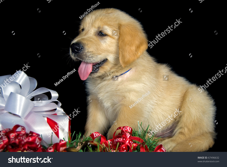Golden Retriever Puppy Christmas Gift Stock Photo 67496632 ...