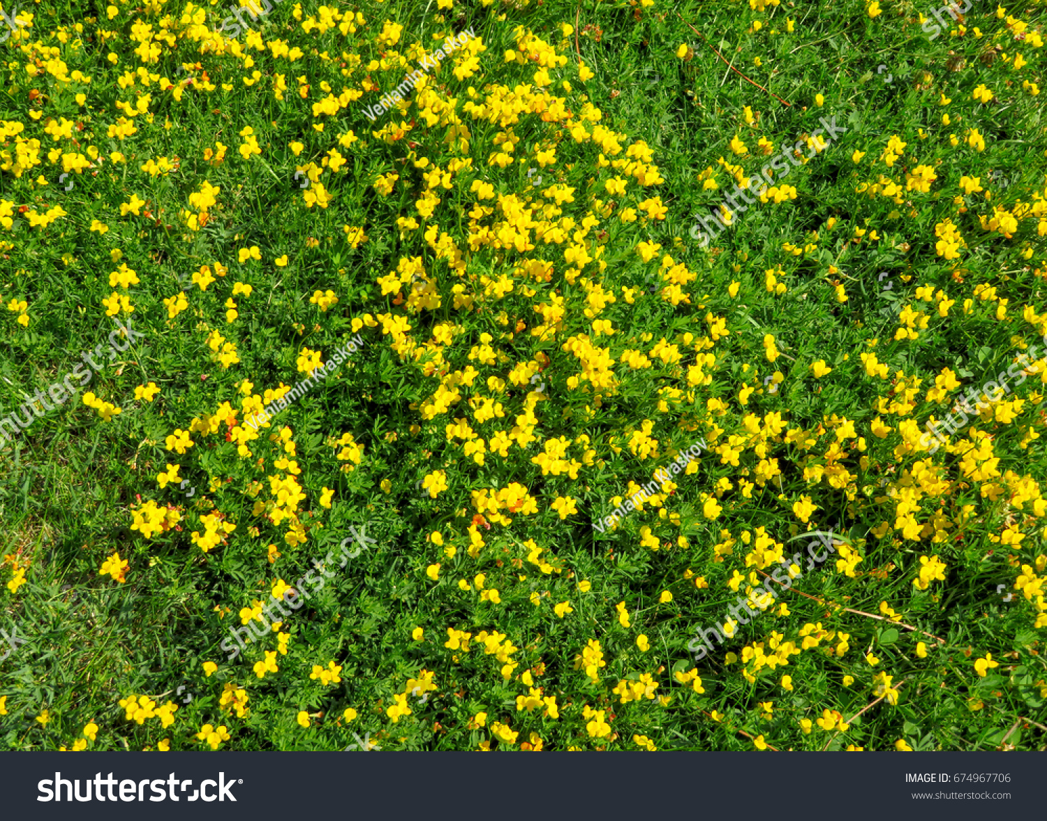Spring Yellow Dandelions View In Green Grass Ez Canvas