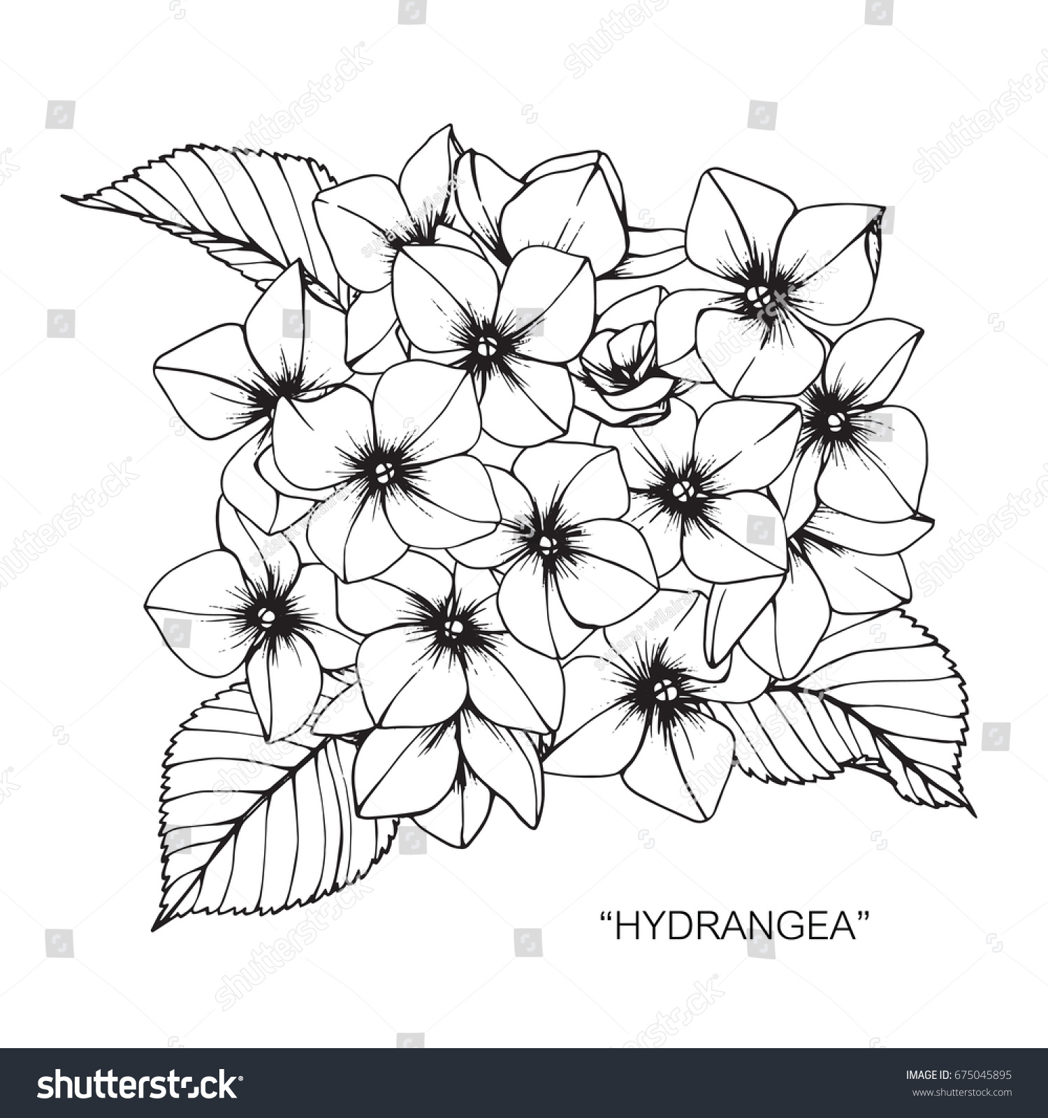 Bouquet hydrangea flowers drawing sketch lineart stock vector bouquet of hydrangea flowers drawing and sketch with line art on white backgrounds izmirmasajfo