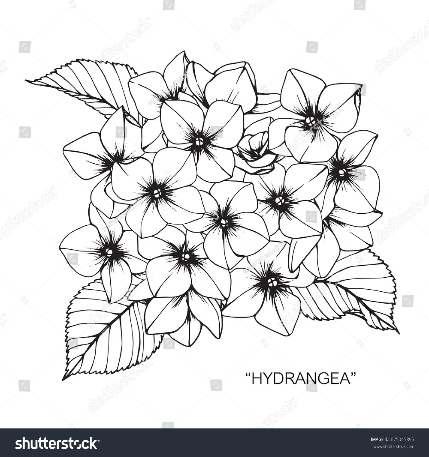 Bouquet Hydrangea Flowers Drawing Sketch Lineart Stock Vector
