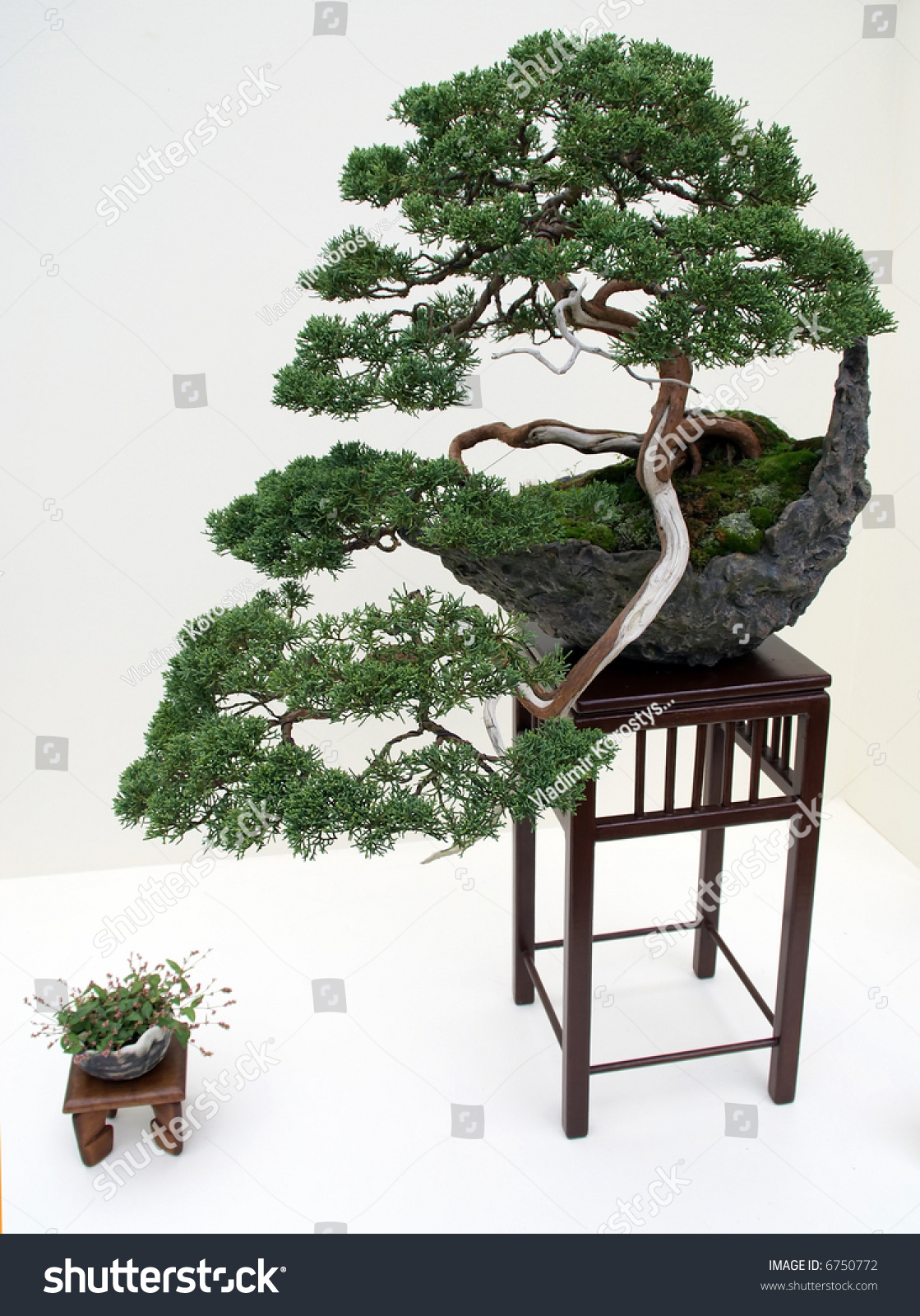 Kiku Exhibit In The New York Botanical Garden Japanese Bonsai