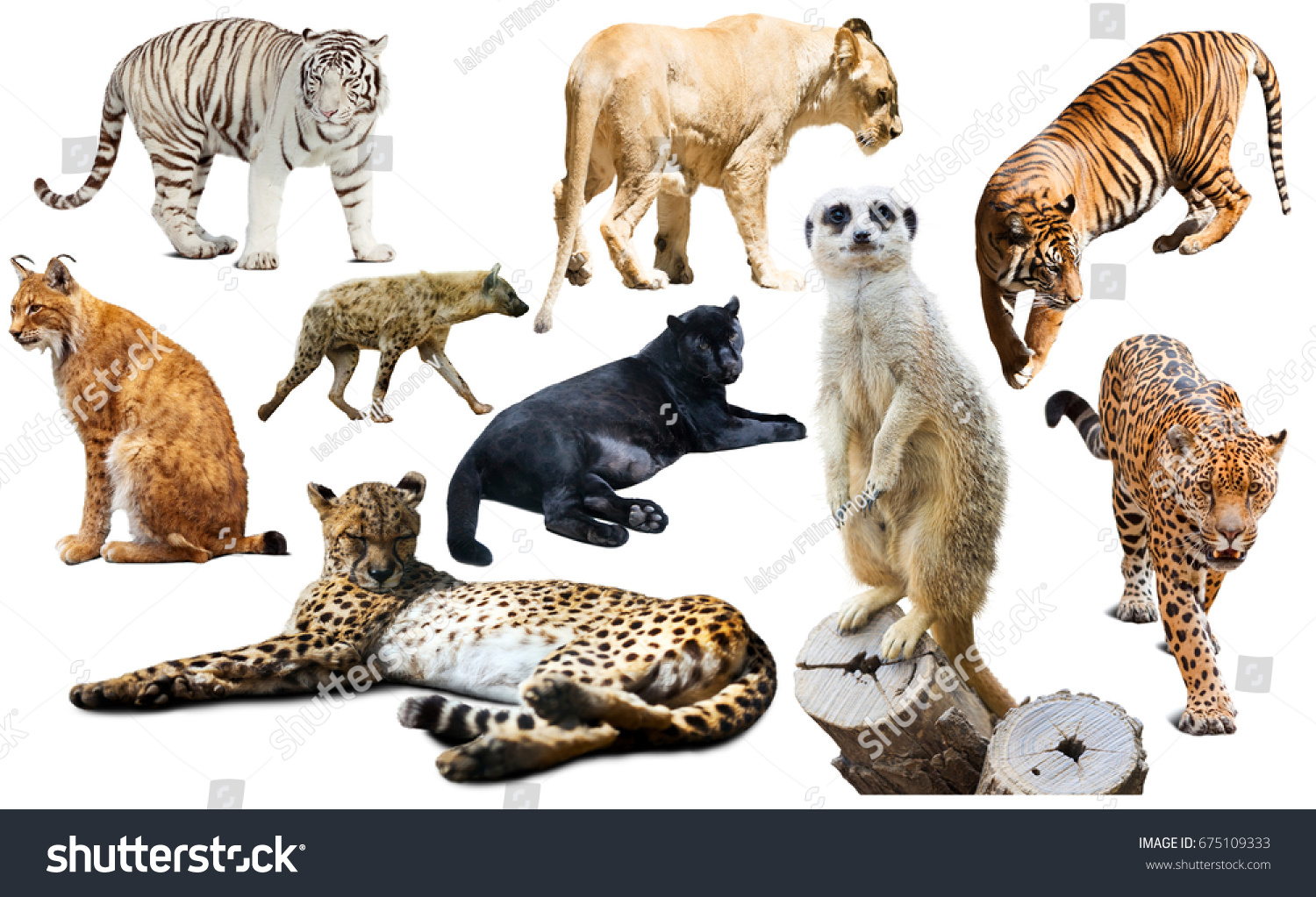 Set of wild mammals isolated over white background, mainly Felidae
