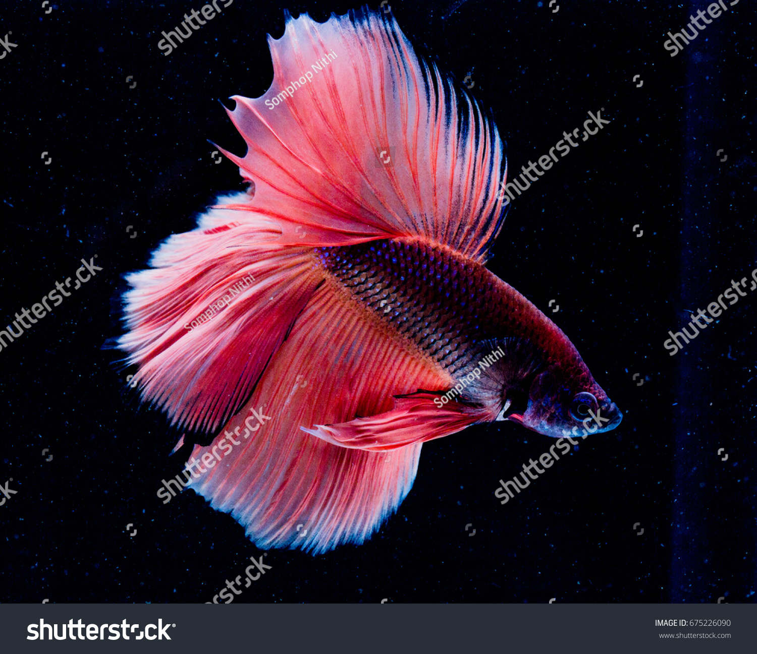 Beautiful Betta Fish Colorful Siamese Fighting Stock Photo (Royalty ...