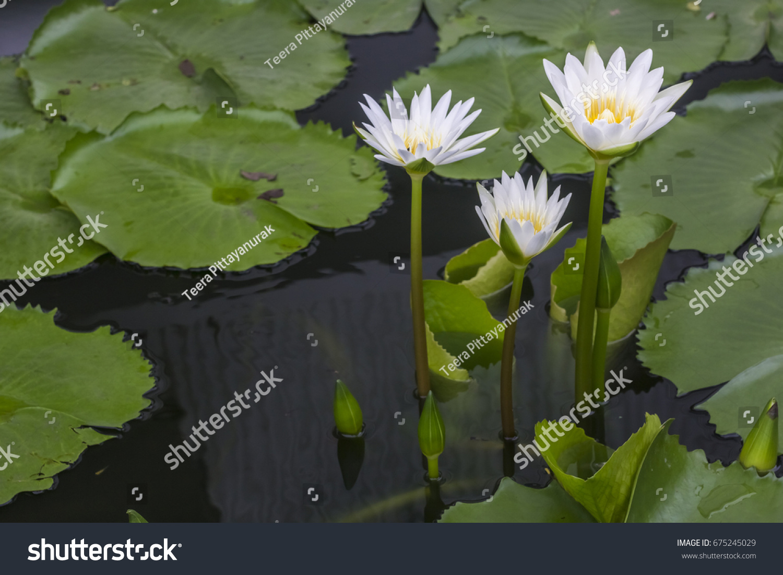 Good Morning Beautiful Lotus Flower Stock Photo Edit Now 675245029
