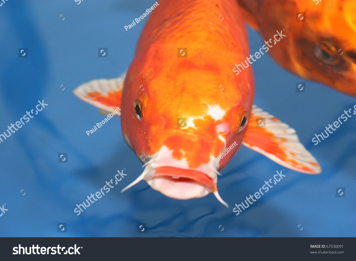 Koi carp in holding tank for sale stock photo 67530091 for Koi holding pool