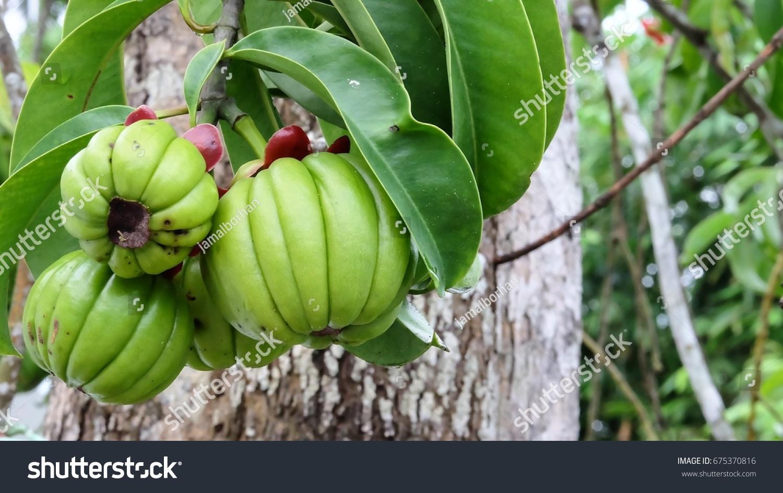 Fresh Garcinia Cambogia Hanging Tree Stock Photo Edit Now 675370816