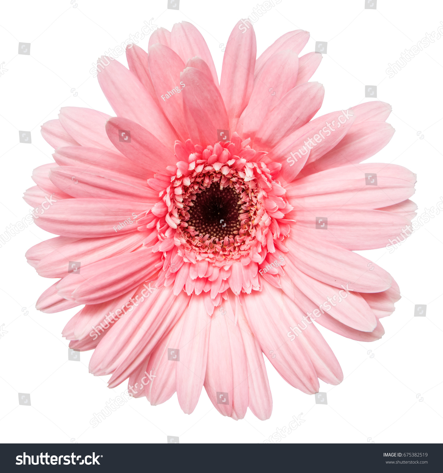 Top View Pink Gerbera Flower Isolated Stock Photo Edit Now
