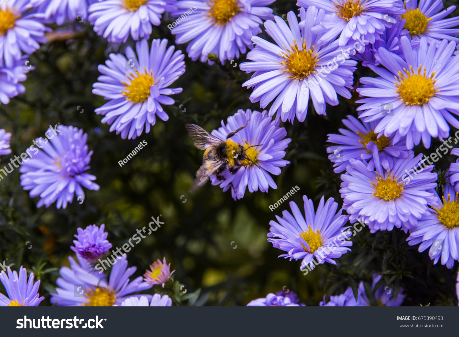 Bee On Aster Flower Close Up Image With Aster Flower Ez Canvas