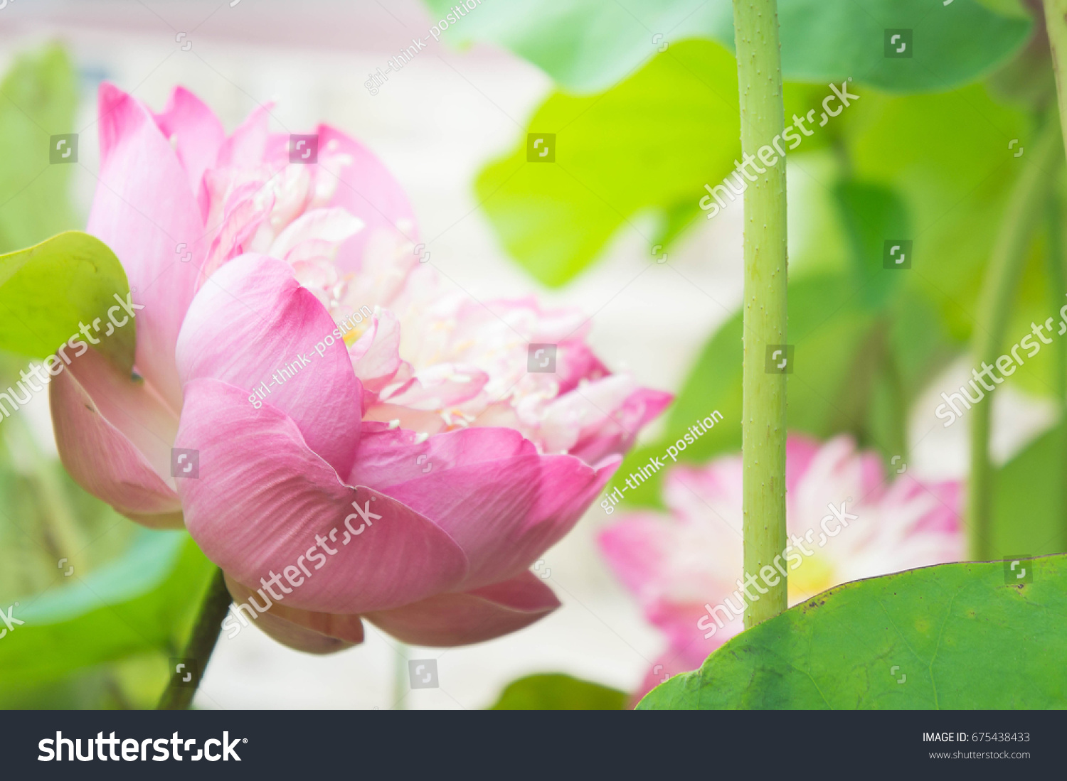 Natural Lotus Flower On Holy Day Stock Photo Edit Now 675438433