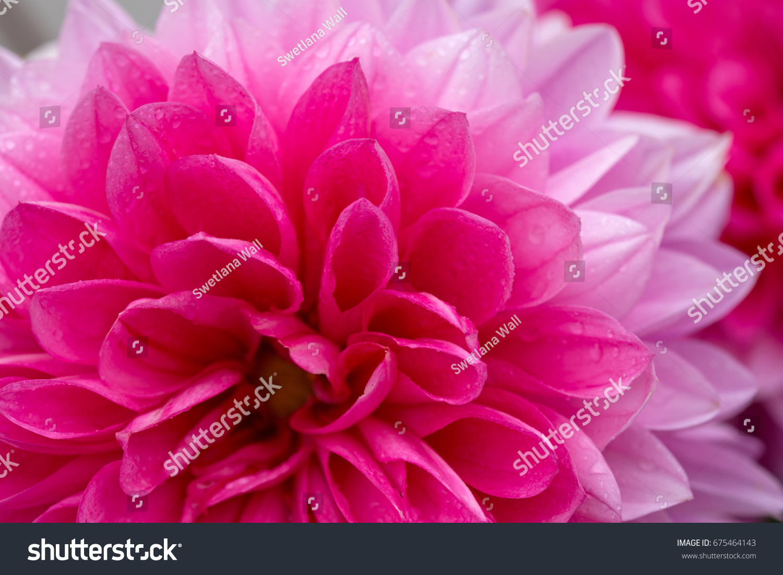 Macro Image Of A Dahlia Flower Ez Canvas