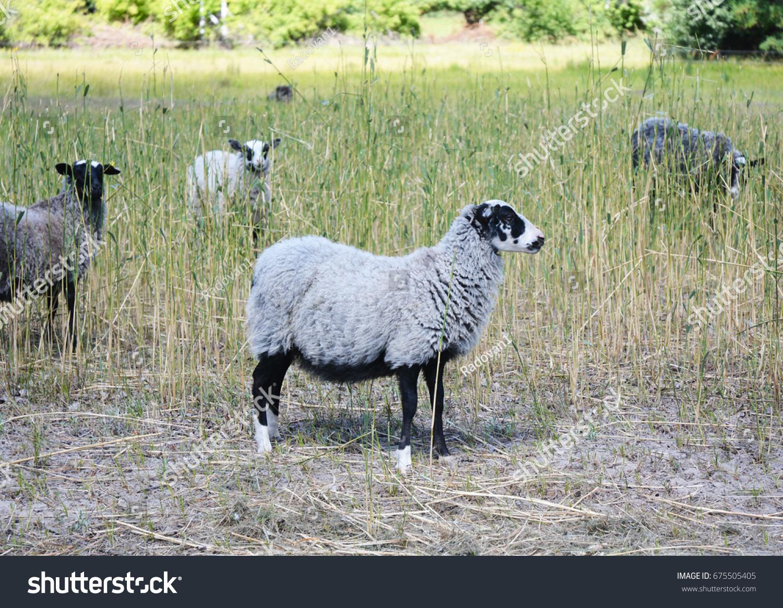 Sheep Nature Green Meadow Sheep Farming Stock Photo (Edit