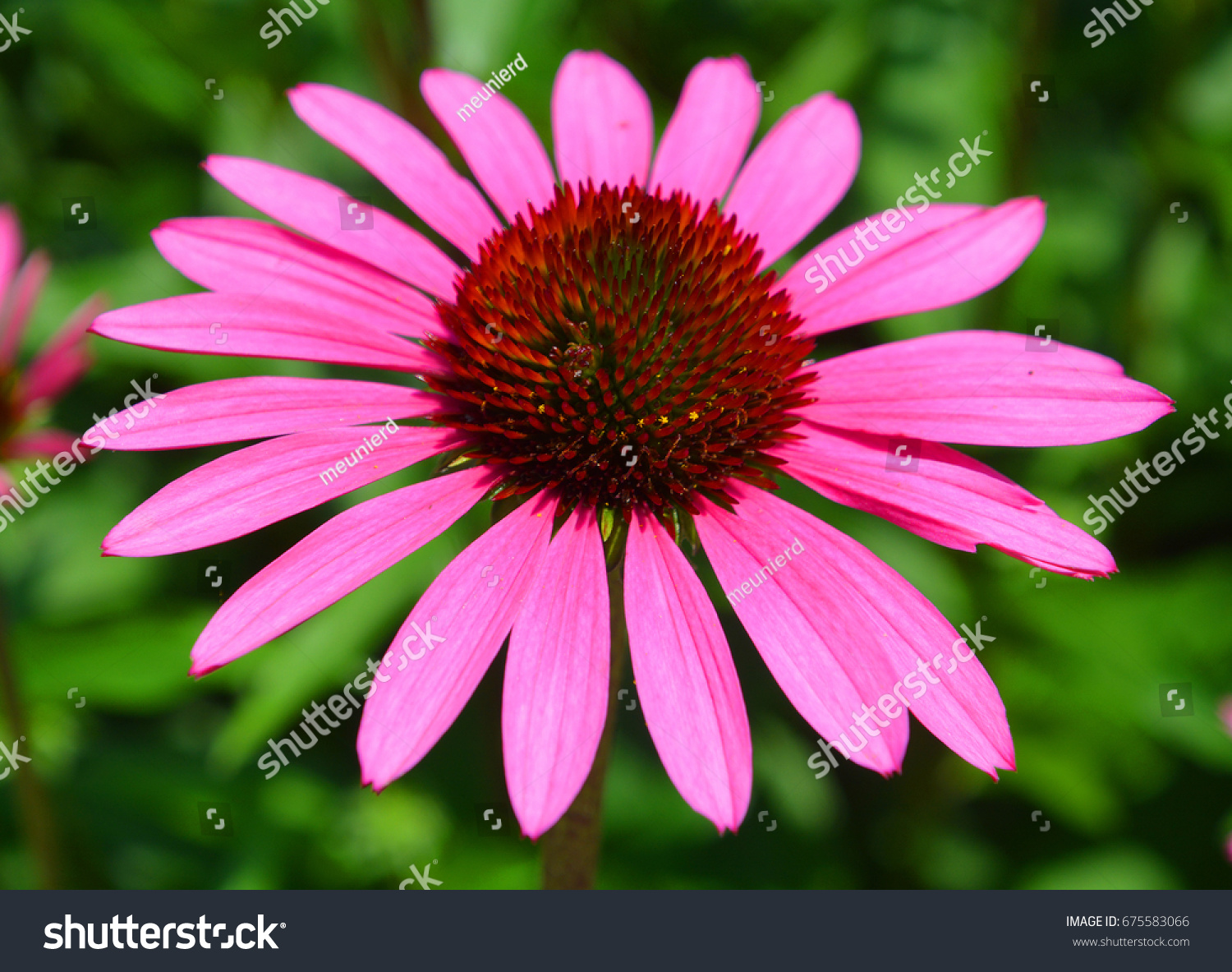 Echinacea is a genus or group of herbaceous flowering plants in the echinacea is a genus or group of herbaceous flowering plants in the daisy family the echinacea genus has nine species which are commonly called purple izmirmasajfo