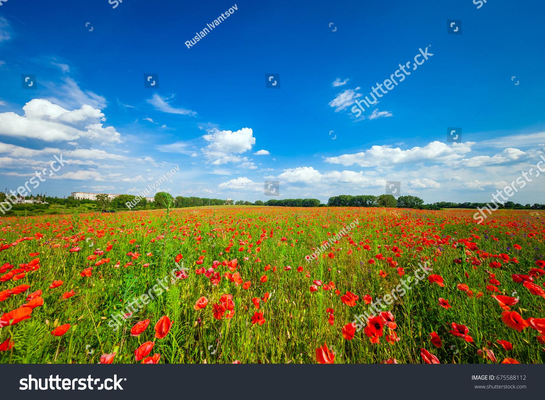 Green Red Beautiful Poppy Flower Field Stock Photo Royalty Free