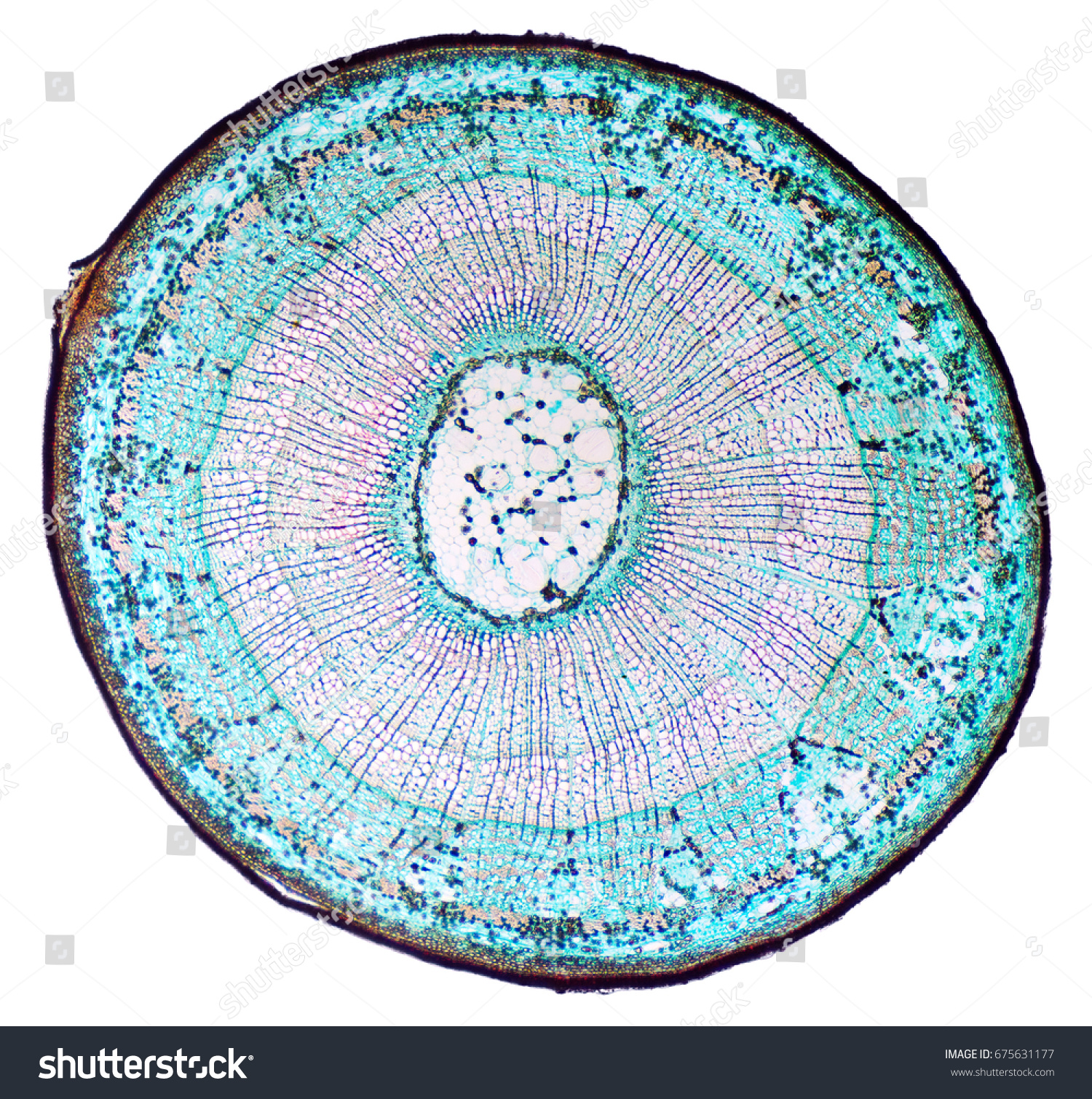 Basswood Stem Cross Section Light Microscope Stock Photo (Royalty ...