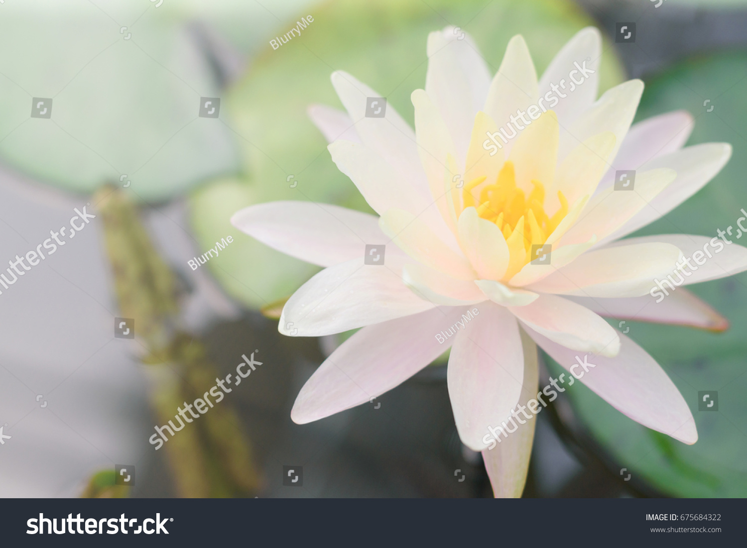 Lotus Pink Water Lily Pond National Stock Photo Edit Now 675684322