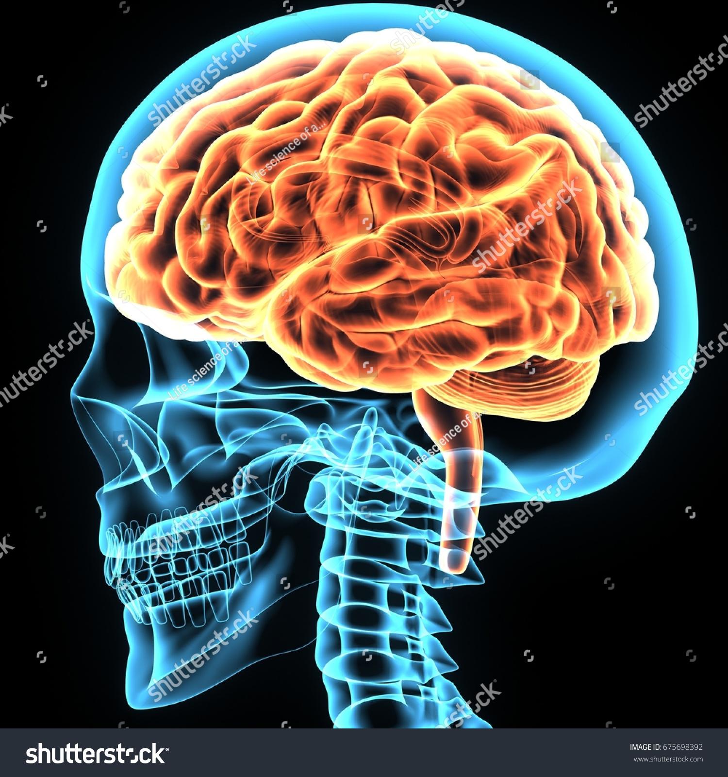 3 D Illustration Brain Skeleton Anatomy Stock Illustration 675698392