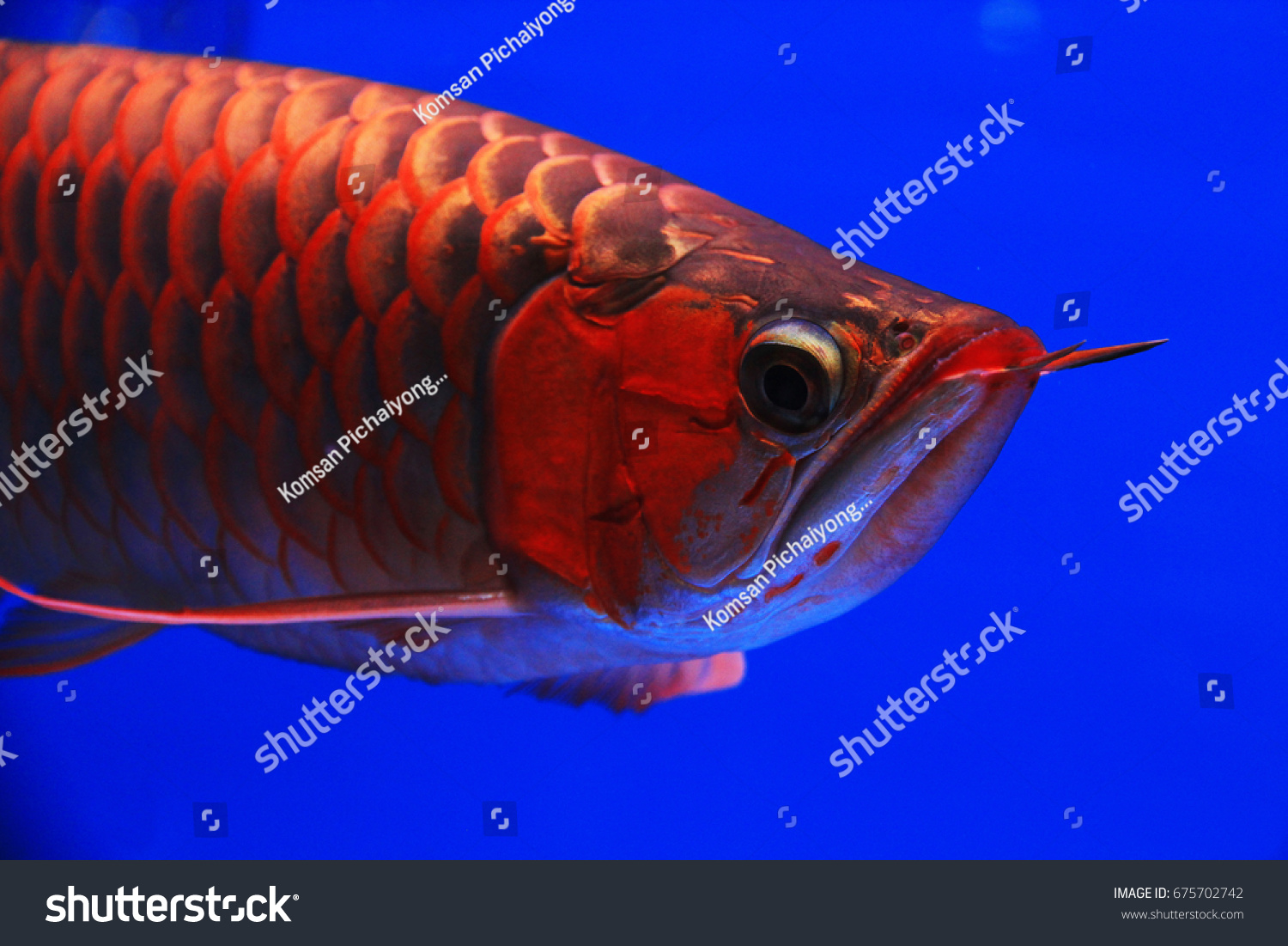 Asian Arowana Freshwater Fish Distributed Across Stock Photo ...