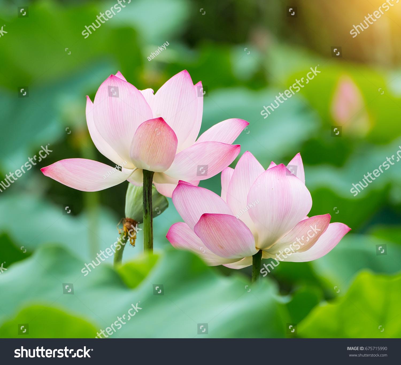 Blooming lotus flower stock photo edit now 675715990 shutterstock blooming lotus flower izmirmasajfo