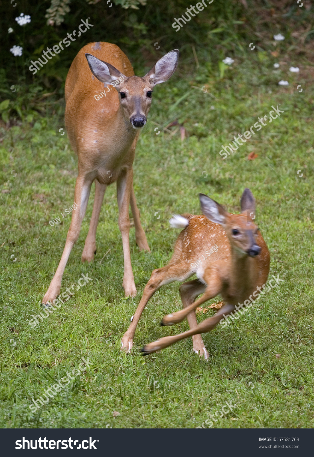 Whitetail Deer Fawn Running Away From Its Doe On Grass ...