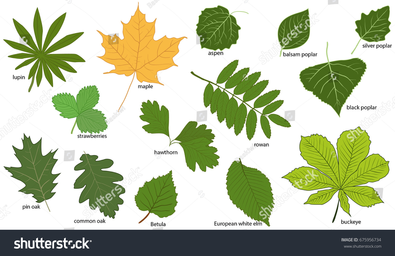 Tree leaf names pictures Leafsnap is a New App to Identify Trees TreeHugger