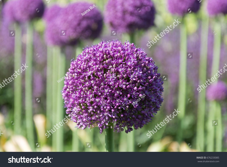 Beautiful purple allium flower green natural stock photo 676233085 beautiful purple allium flower green natural stock photo 676233085 shutterstock mightylinksfo Image collections