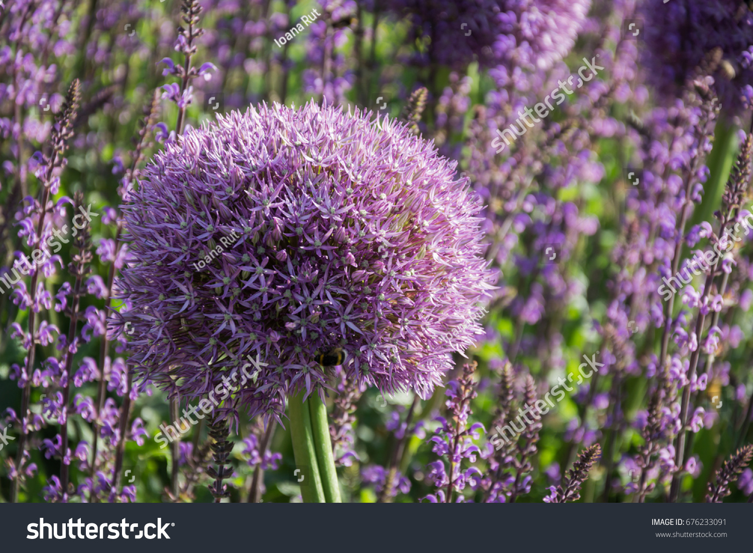 Beautiful purple allium flower green natural stock photo royalty beautiful purple allium flower with green natural background perfect image for pink alliums flowers mightylinksfo Image collections