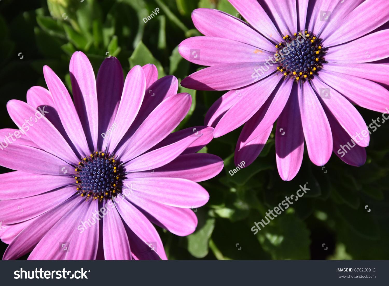 Light Purple Flowers Dallas Arboretum Stock Photo Royalty Free