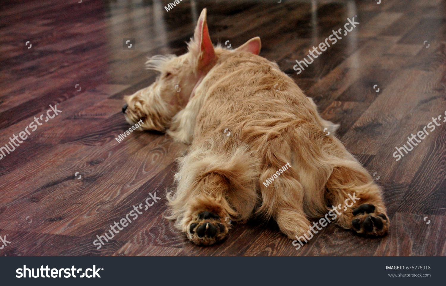 Sleeping  Scottish terrier #676276918