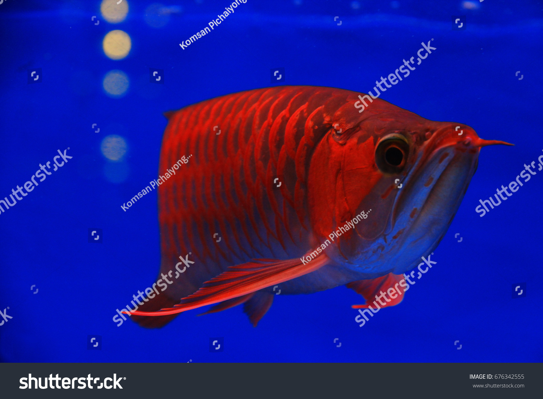 Asian Arowana Freshwater Fish Distributed Across Stock Photo (100 ...