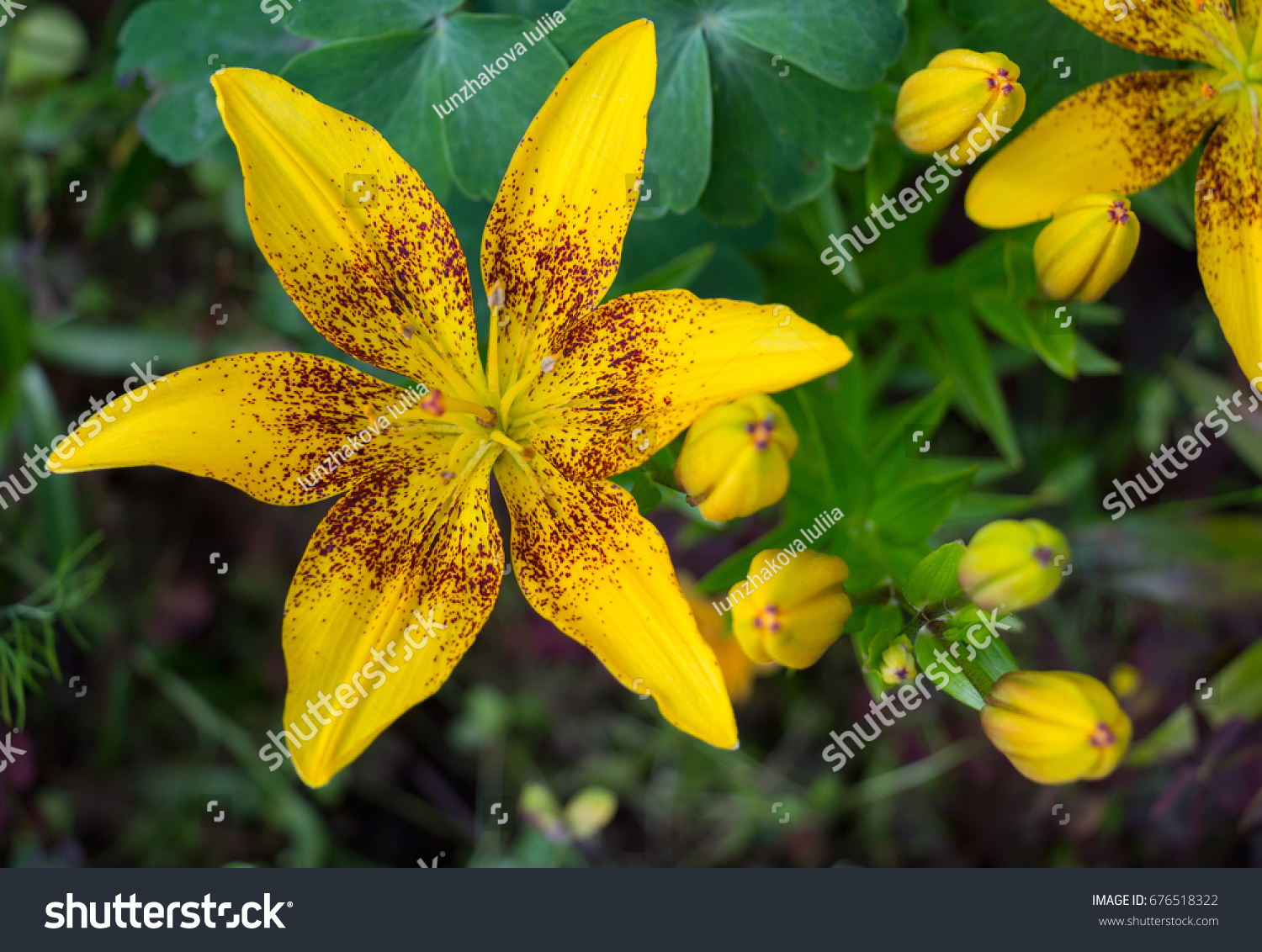 Flower yellow lily like little sun stock photo 676518322 shutterstock the flower of yellow lily like a little sun in the summer garden izmirmasajfo Image collections