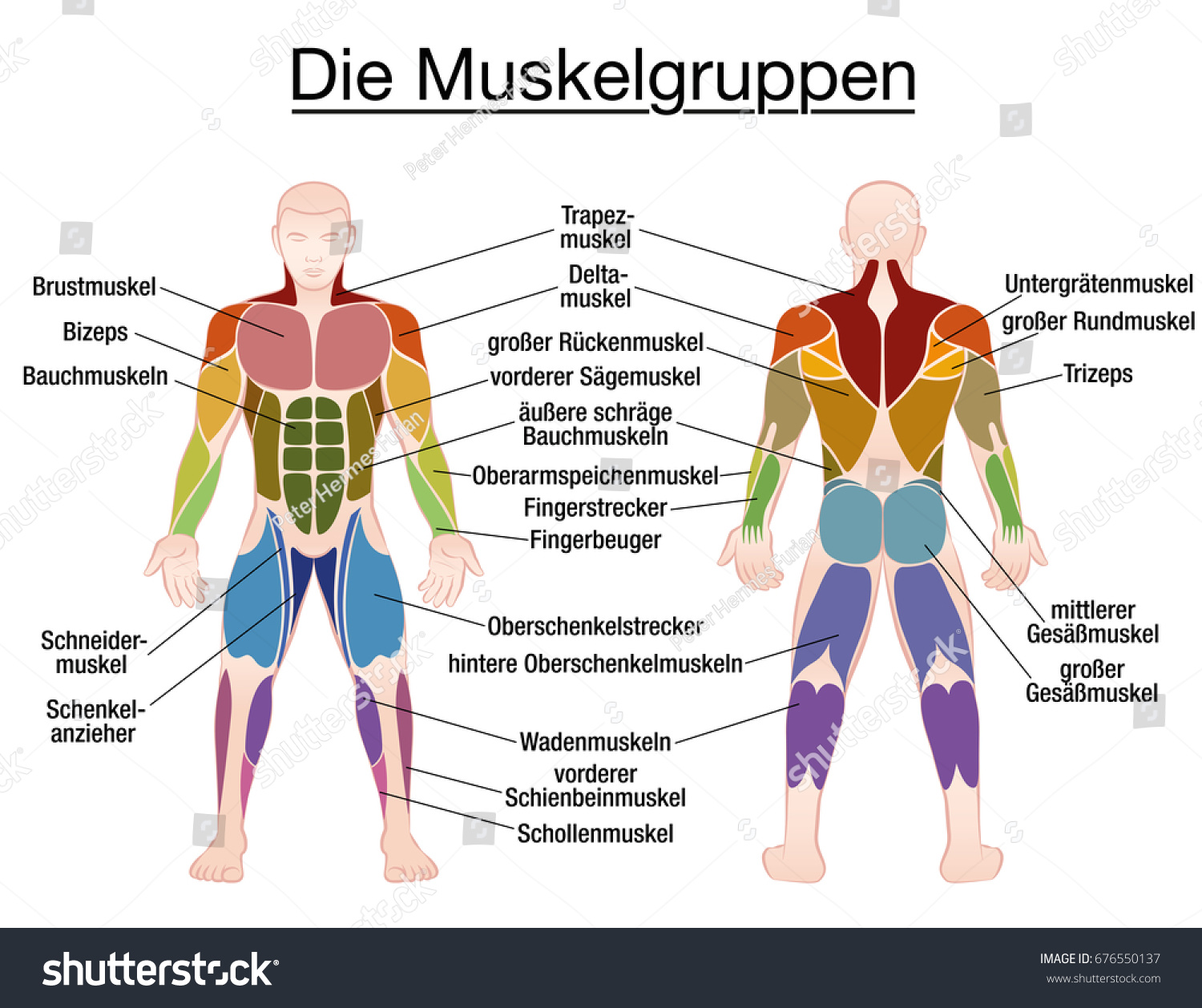 Muscle Chart German Labeling Most Important Stock Vector Royalty