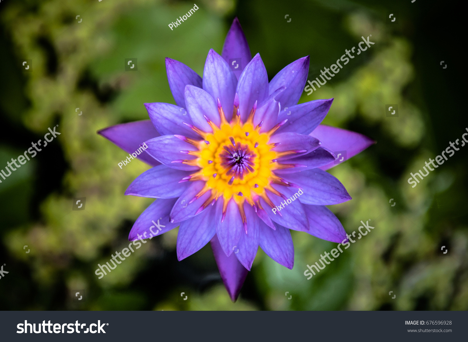 Beautiful water lily or blue star lotus or blue water lily ez canvas id 676596928 izmirmasajfo