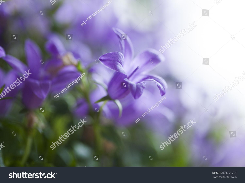 Purple Bellflowers Ez Canvas