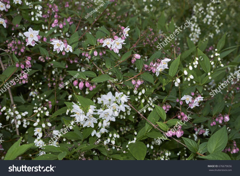 Shrubs Pink White Flowers Stock Photo Edit Now 676679656