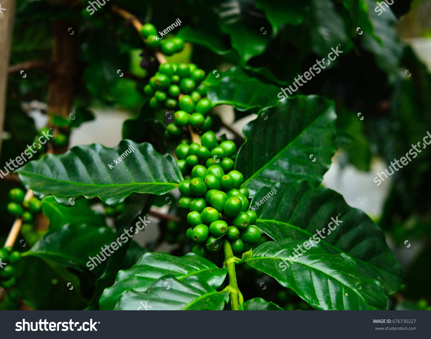 Green Coffee Beans On Tree Stock Photo Edit Now 676730227