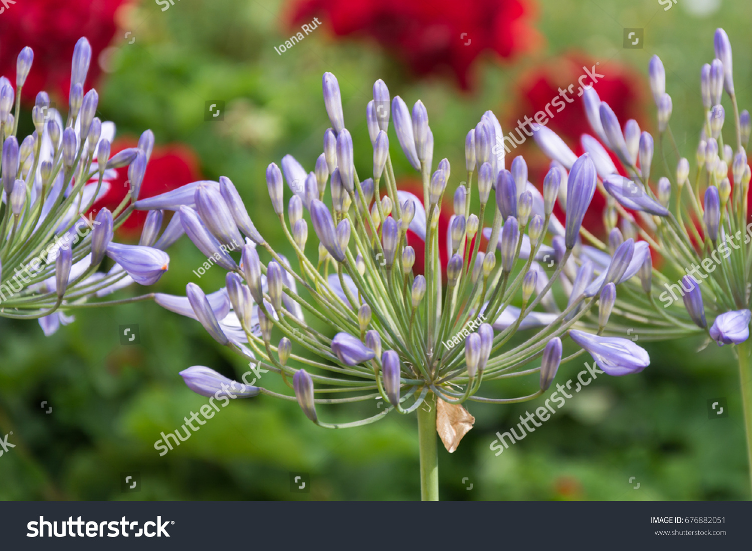 Lily Nile Agapanthus African Lilly Flower Stock Photo Edit Now