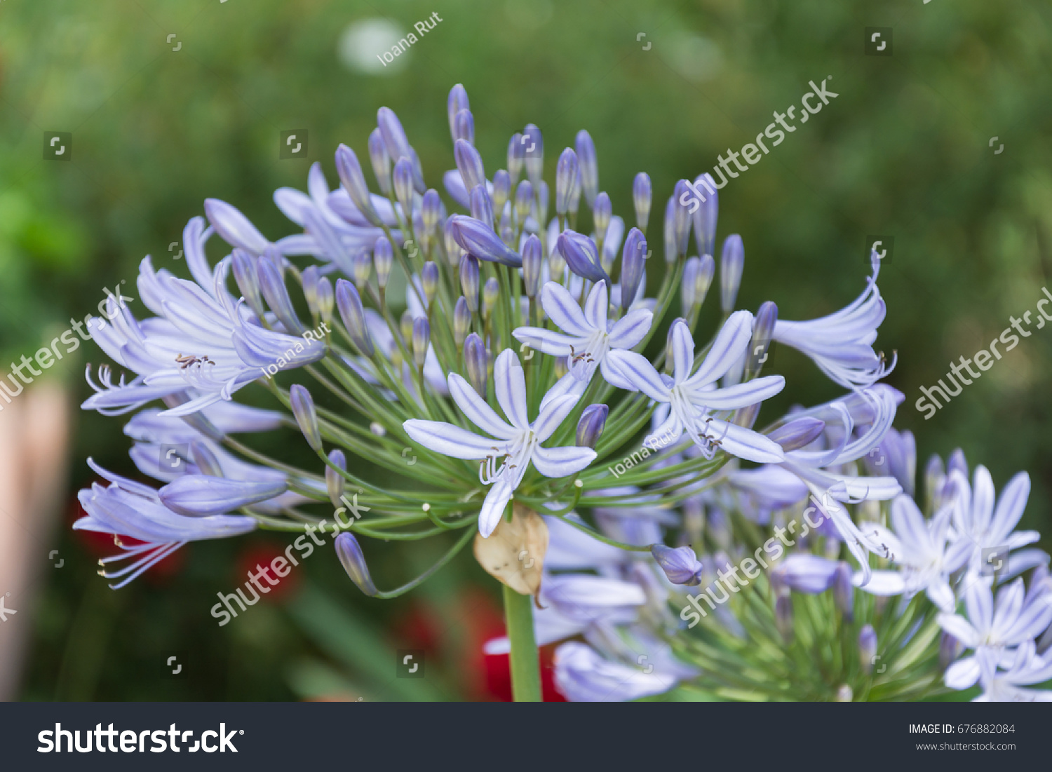 Lily nile agapanthus african lilly bloom stock photo edit now lily of the nile agapanthus african lilly bloom perfect image for blue izmirmasajfo