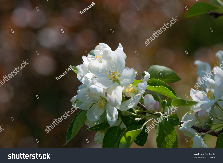 Evergreen Tree Spring Jasmine Flower Pretty Picturesboss