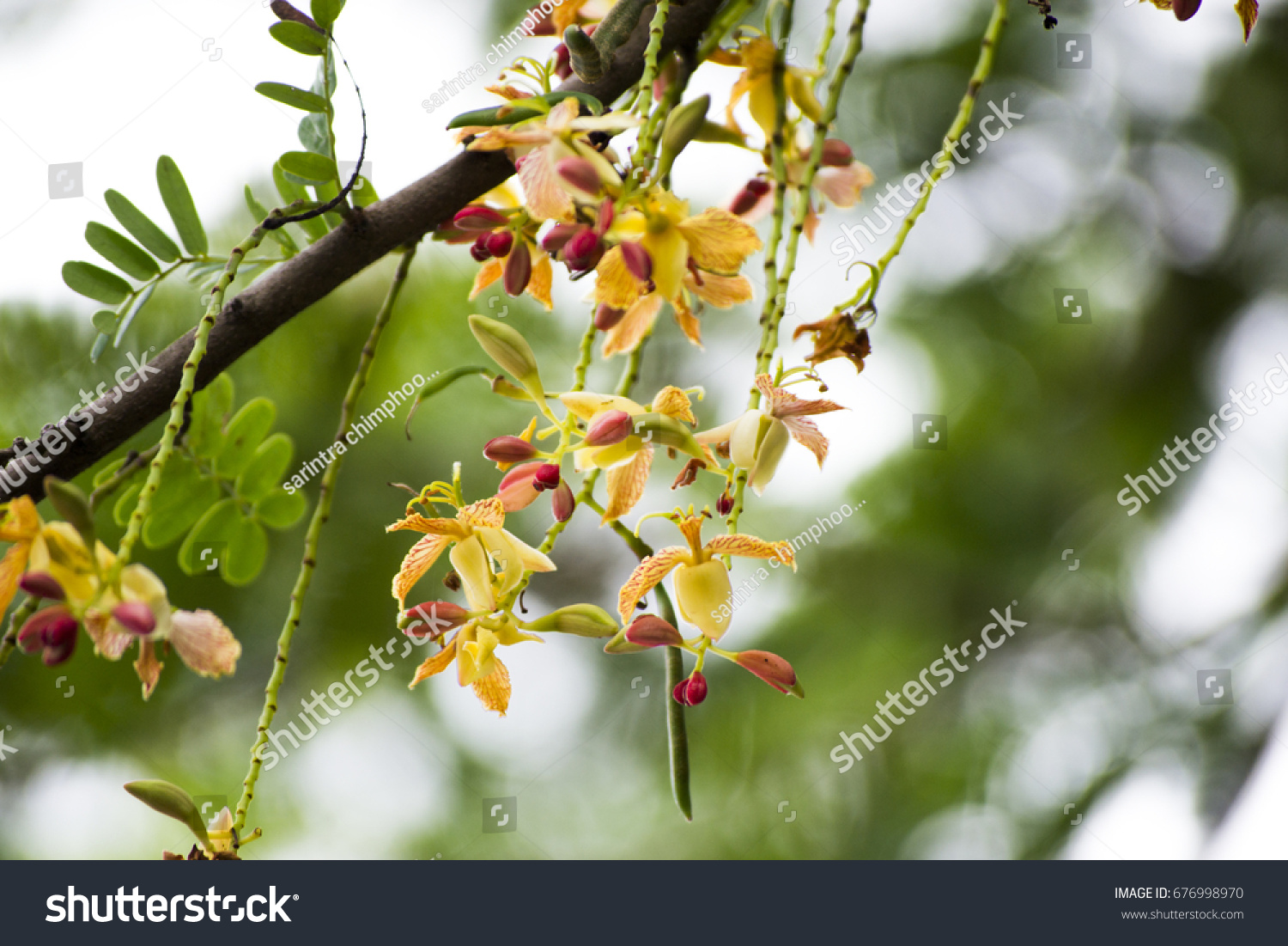 Tamarind Flower Blooming On Tree Scientific Stock Photo Royalty