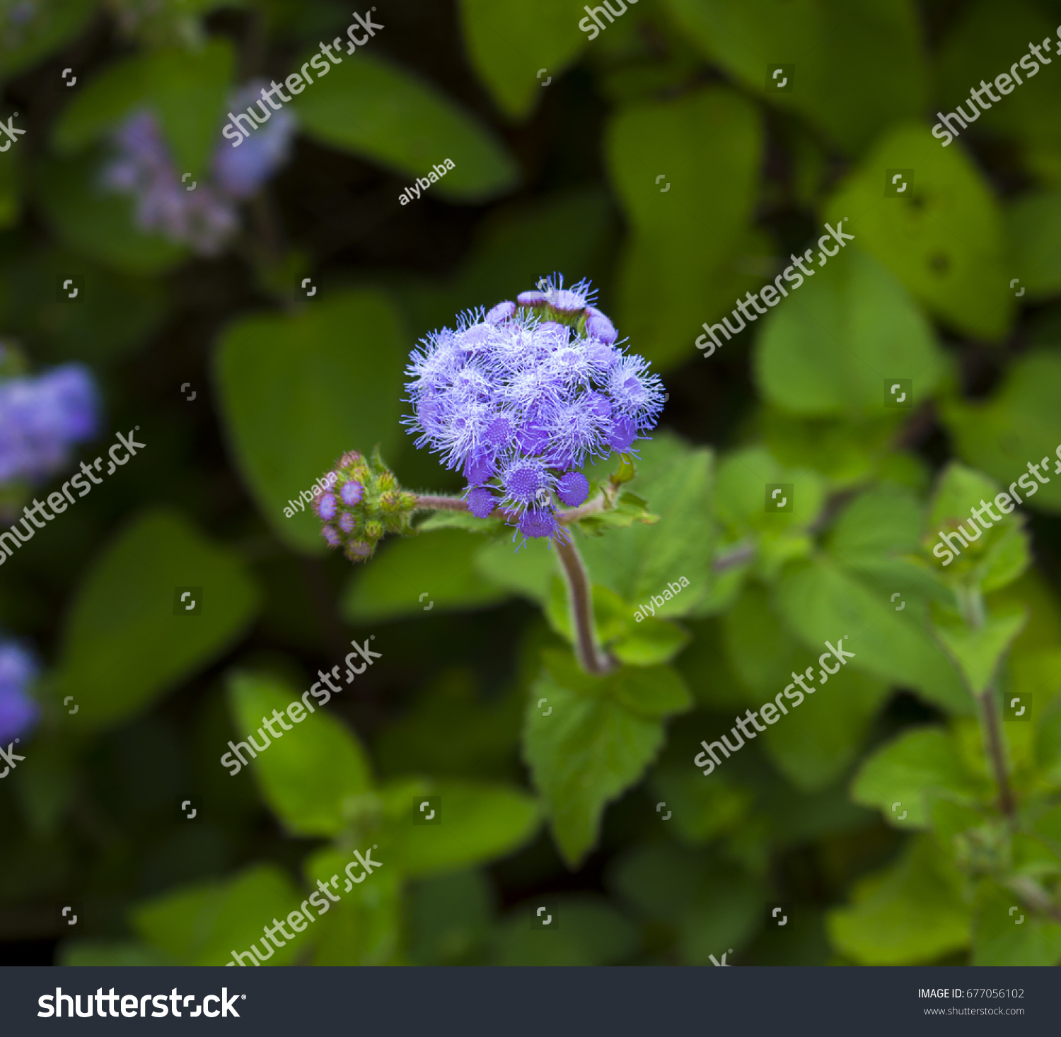 Ethereal misty powder blue flowers of perennial ageratum id 677056102 izmirmasajfo