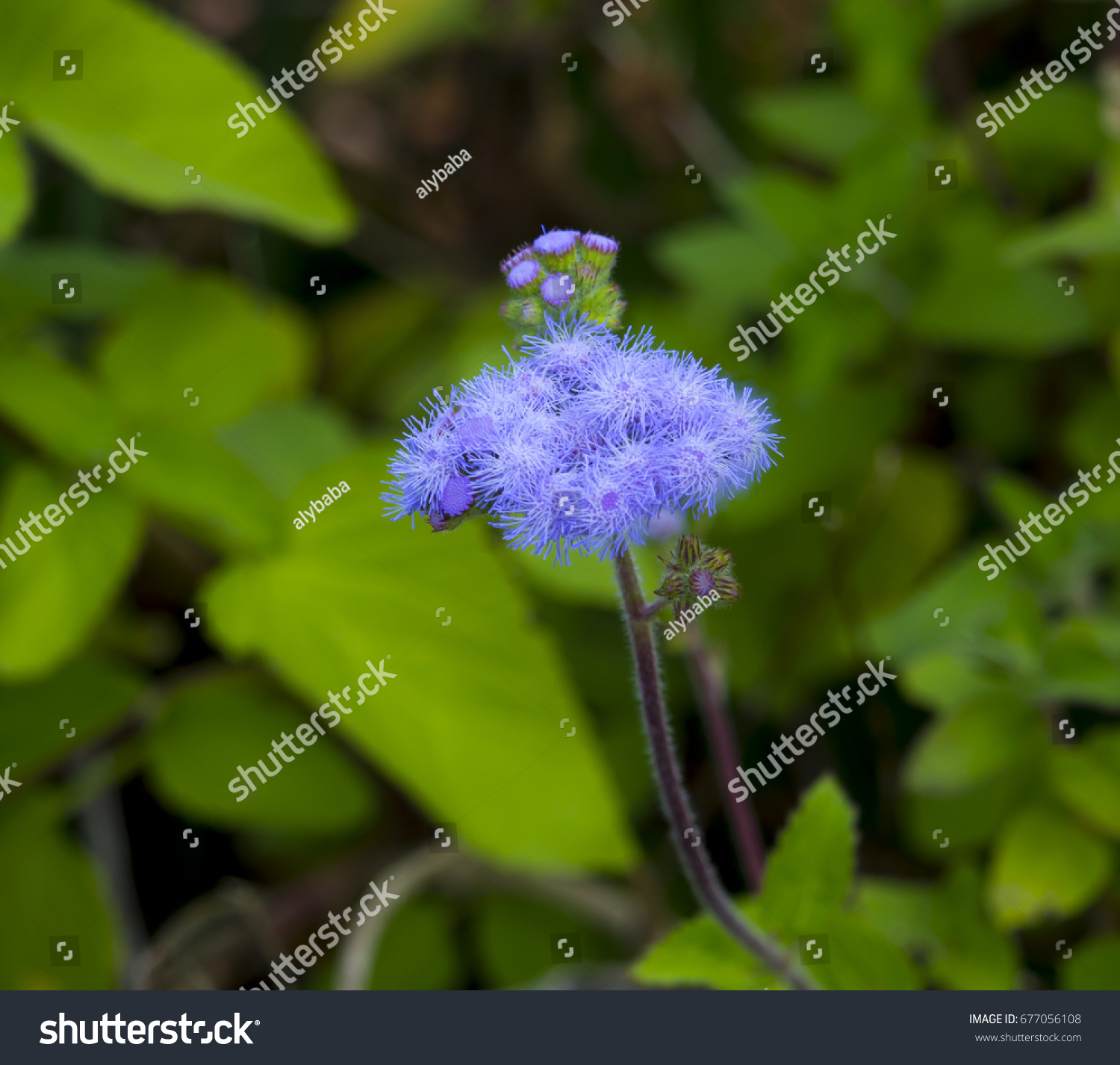 Ethereal misty powder blue flowers perennial stock photo edit now ethereal misty powder blue flowers of perennial ageratum houstonianum cover the hairy green leaved plant in izmirmasajfo