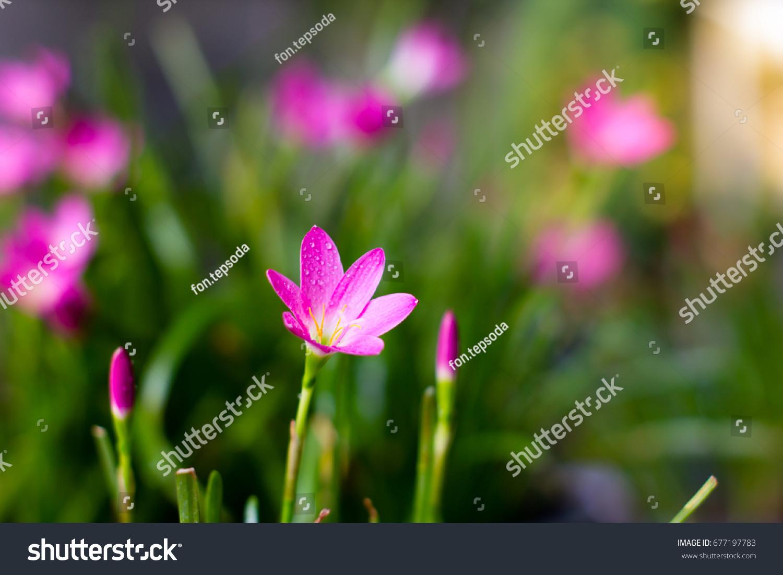 Pinkpurple rain flower garden zephyr lily magic stock photo edit pink purple rain flower in a gardenzephyr lily magic lily atamasco izmirmasajfo