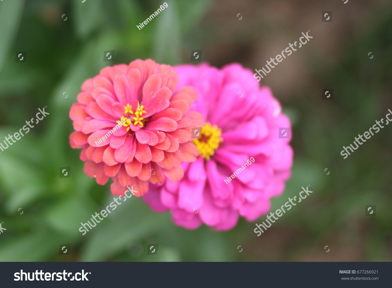 Thai Marigold Flowers Afternoon Stock Photo 677266921 Shutterstock
