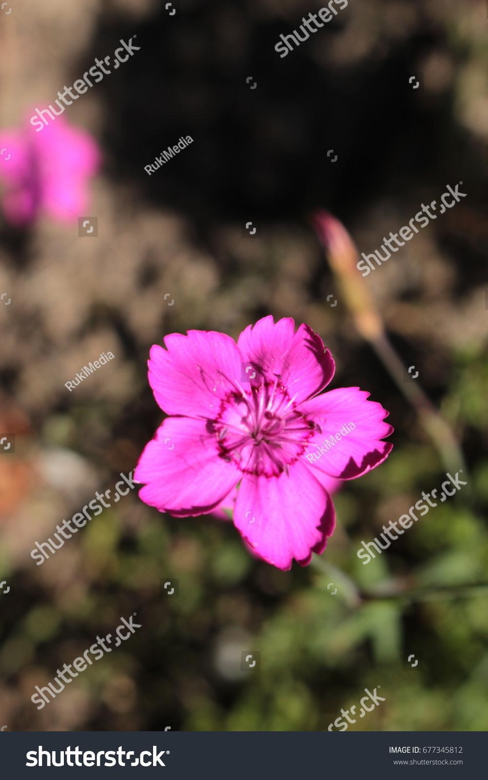 Maiden Pink Flower Or Heide Nelke Stock Photo Royalty Free