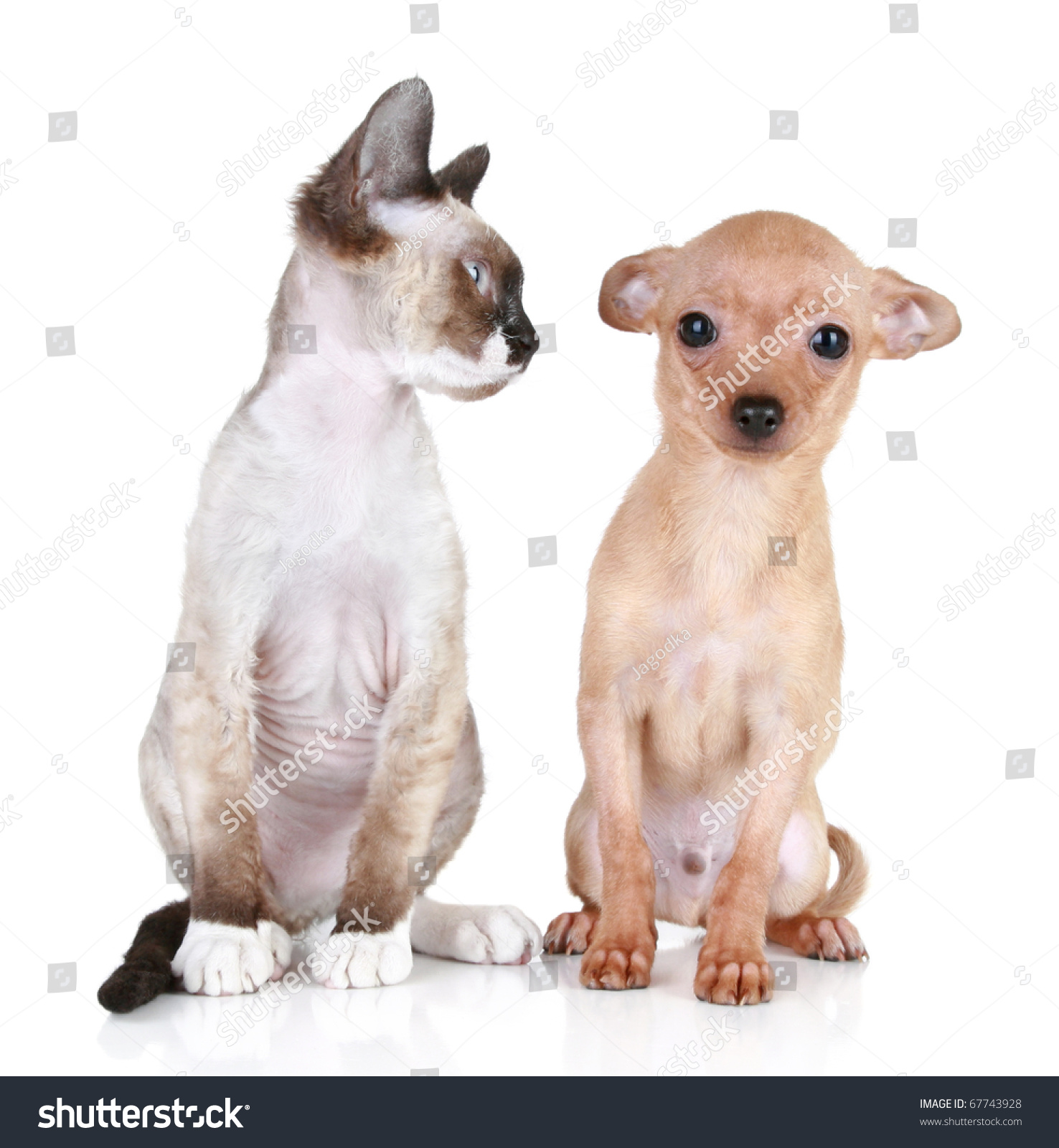 Angry Cat Devonrex Breed Scared Toyterrier Stock