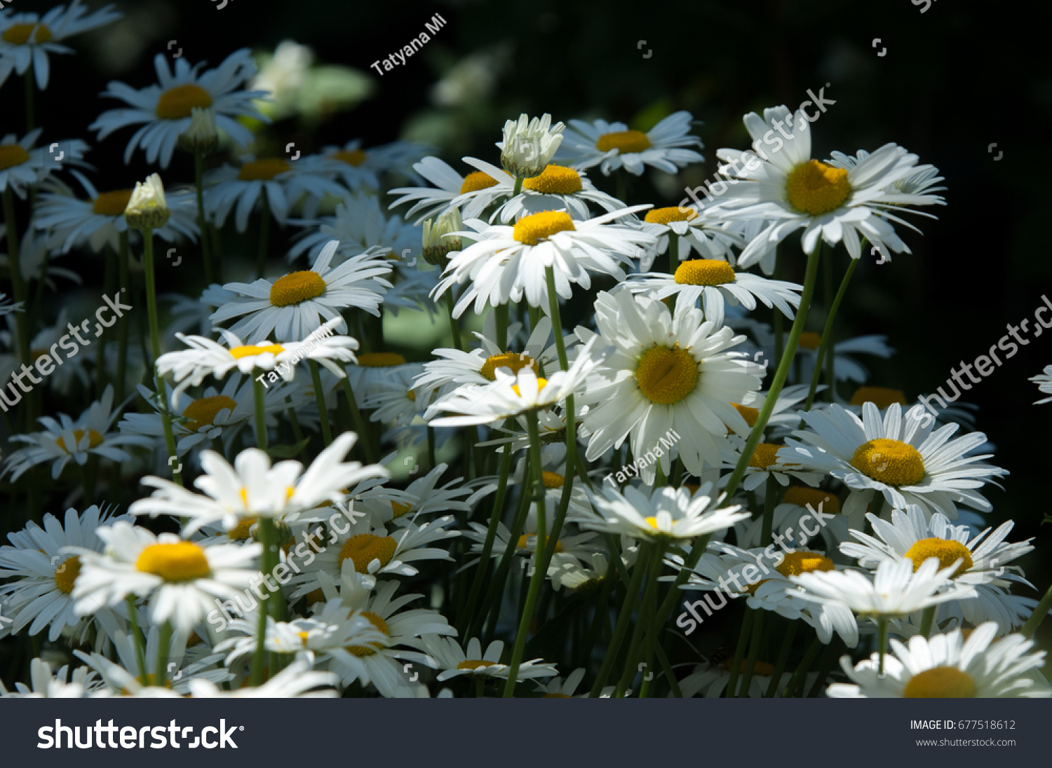 Summer photos flowers daisies aromatic european stock photo edit summer photos of flowers daisies an aromatic european plant of the daisy family with izmirmasajfo