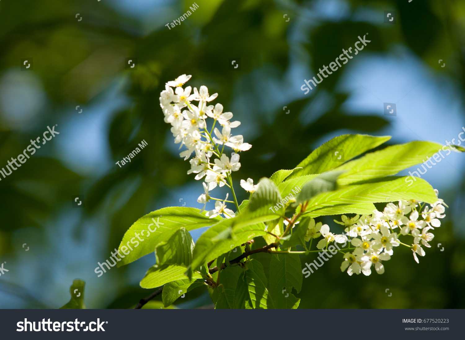 Spring flowers bird cherry tree white stock photo safe to use spring flowers bird cherry a tree with white fragrant flowers collected in a mightylinksfo