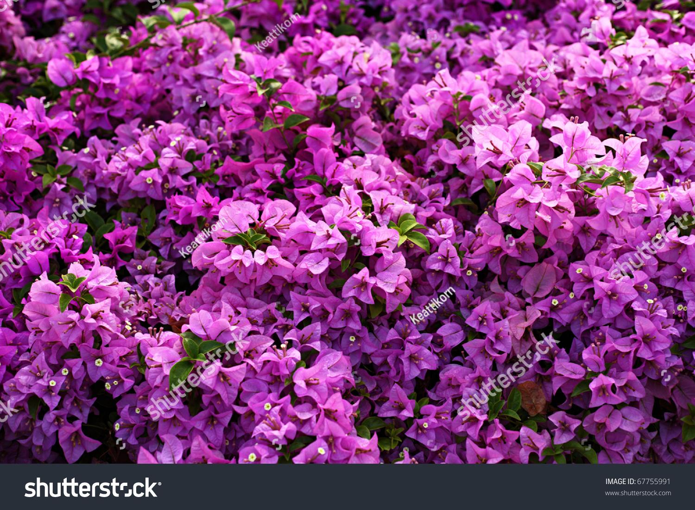 Bougainvillea Paper Flower Pink Color Stock Photo Edit Now
