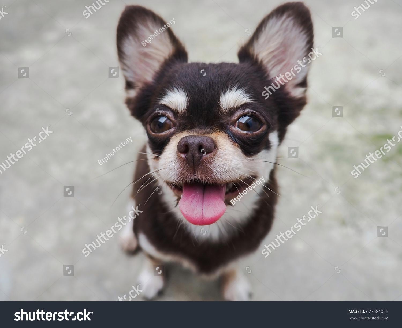 Chihuahua Dog Chocolate Tan Cream Short Stock Photo (Royalty Free ...